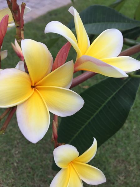 Beaches Resorts flower